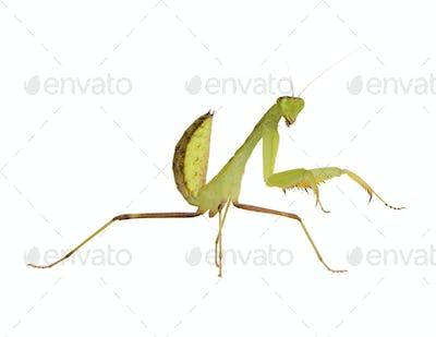 Young praying mantis - Sphodromantis lineola