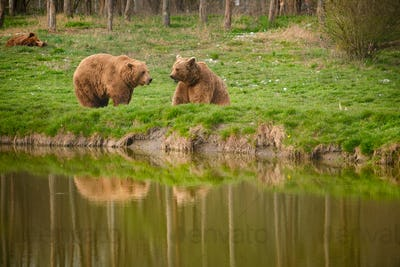 Brown bear in national park