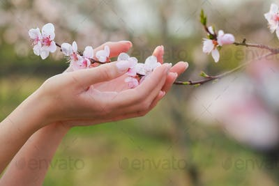 Tree blossom in woman hand