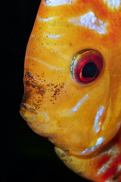 Portrait of discus fish (Sympysodon) on a black background