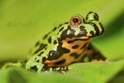 Frog Oriental fire-bellied toad (Bombina orientalis) sitting on green leaf