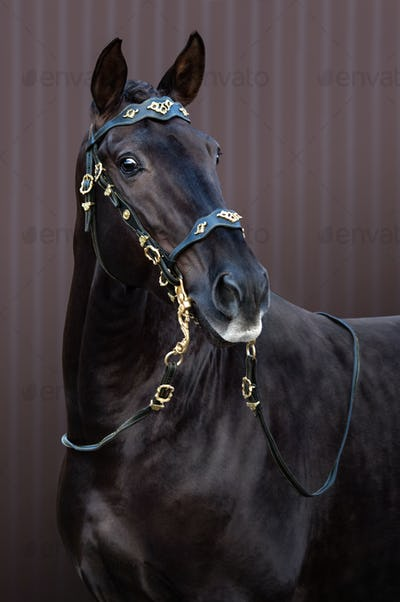 Lusitano horse in baroque bridle on striped background.