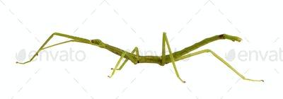 stick insect, Phasmatodea - pharnacia ponderasa