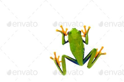 Red eyed tree frog isolated on white background