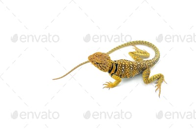 The common collared lizard isolated on white background