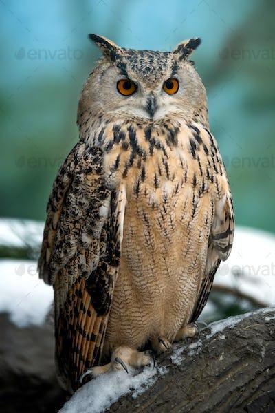 Close up owl portrait