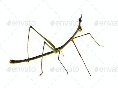 stick insect, Phasmatodea - Oreophoetes peruana