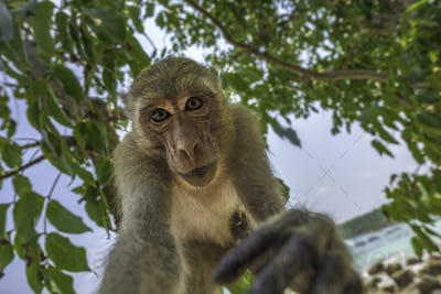 Curious monkey holds camera looking directly into the lens Crab-