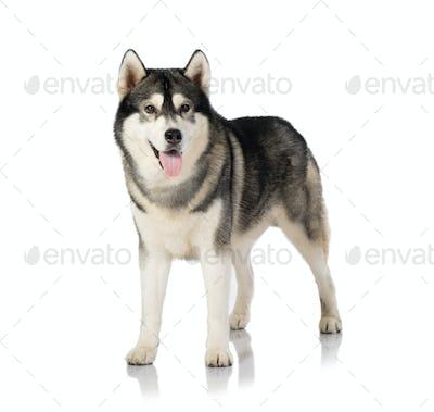black and white siberian Husky dog on white