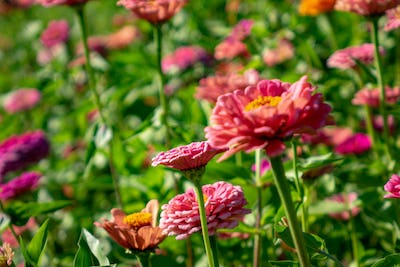 Blooming flowers zinnia in the summer garden on a sunny day. Floral layout