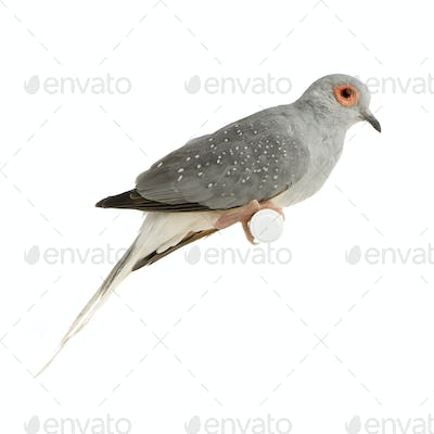 Diamond Dove - Geopelia cuneata