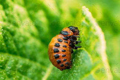 Larva Of Leptinotarsa Decemlineata eating potatoes leafs. Seriou