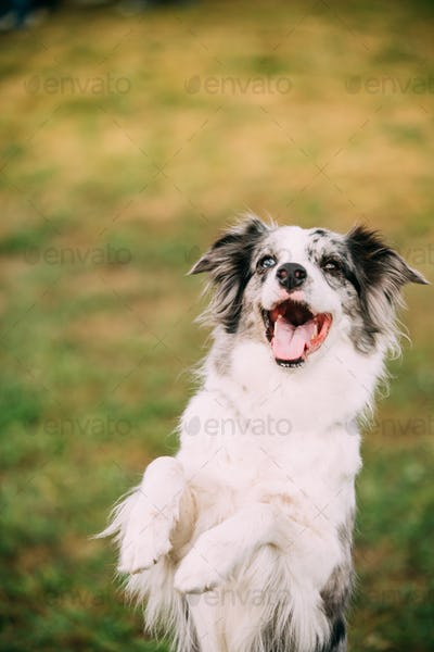 Border Collie Adult Dog Staying On Paws In Green Grass. Close Up