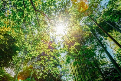Sun Shining Through Canopy Of Trees Bamboo Woods. Sunlight In Tr