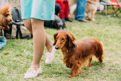 Brown Red Longhaired Dachshund Dog Running Near Woman In Green G