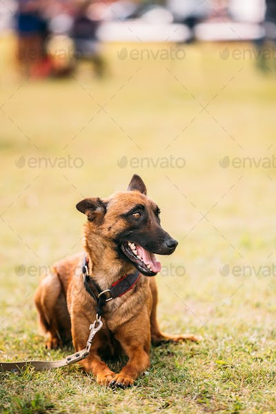 Malinois Dog Sit Outdoors In Grass. Belgian Sheepdog Are Active,