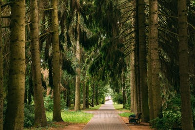 Walkway Lane Path Through Green Picea Abies, Norway Spruce Conif