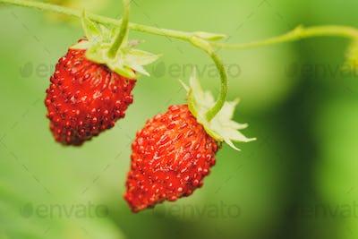 Red Fragaria, Wild Strawberries. Growing Organic Wild Ripe Straw