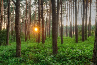 Sunset Sunrise Sun Sunshine Shining Through Pine Trees In Sunny