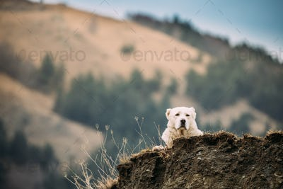 Central Asian Shepherd Dog Resting Outdoor In Mountains Of Cauca
