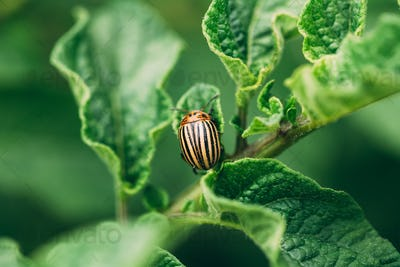 Close Up Of Single Potato Striped Beetle - Leptinotarsa Decemlin