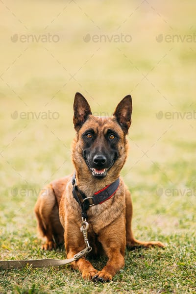 Malinois Dog Sit Outdoors In Grass. Belgian Sheepdog, Shepherd,