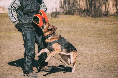 Alsatian Wolf Dog Biting Sleeve During Training. Deutscher Dog