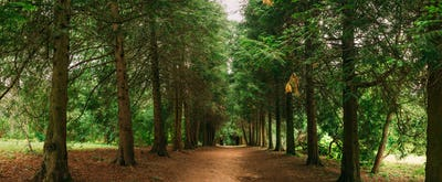 Walkway Lane Path Through Green Thuja Trees In Coniferous Forest