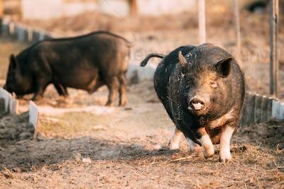 Small Household Black Pig Running In Farm Yard. Pig Farming Is R