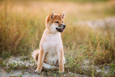 Beautiful Young Red Shiba Inu Puppy Dog Sitting Outdoor In Grass