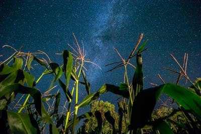 Bottom View Of Night Starry Sky With Milky Way From Green Maize