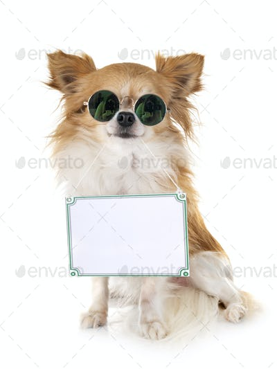 chihuahua and board