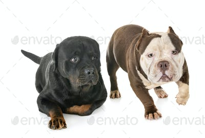american bully and rottweiler