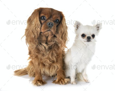 cavalier king charles and chihuahua