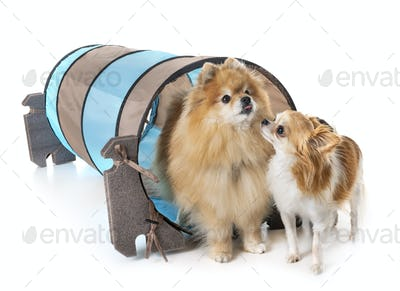 little dogs and agility