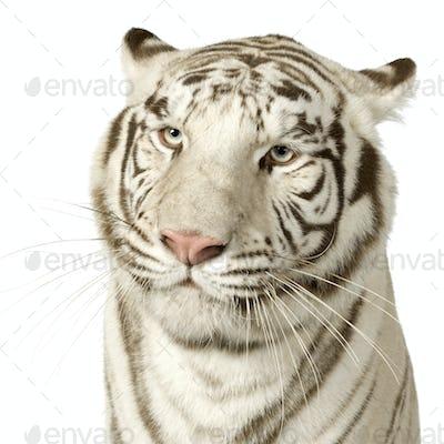 White Tiger  (3 years)