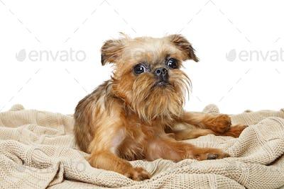 Brussels Griffon puppy lies on  blanket