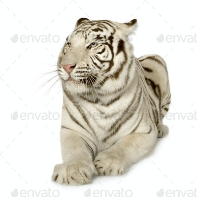 White Tiger  (3 years)