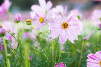 Pink cosmos with morning sun