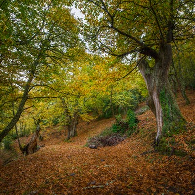 Autumnal atmosphere in a millenary forest