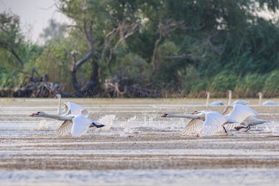 white swans in flight