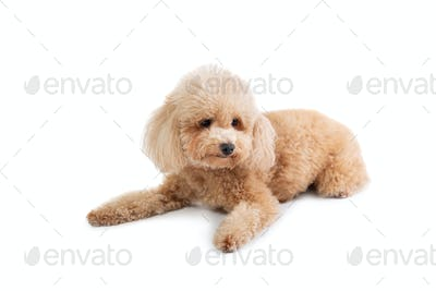 curly-haired poodle lying on the floor