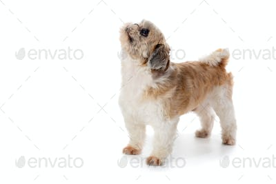 cute little shih tzu dog looking above