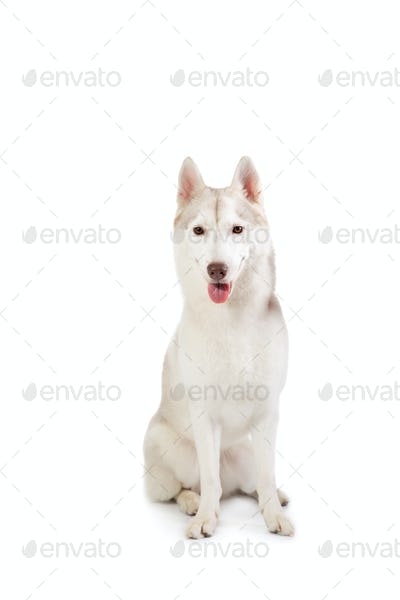 gorgeous siberian husky sitting with tongue sticking out and loo