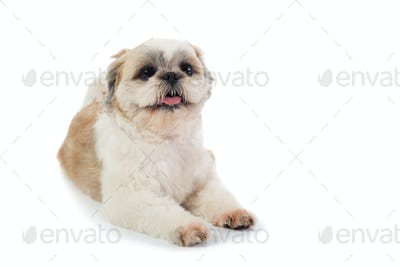 cute shih tzu dog with tongue sticking out sitting on the floor