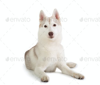 gorgeous siberian husky sitting on the floor and looking at came