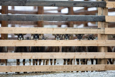 Cute adorable farm goats standing in a row