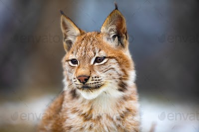 Portrait of eurasian lynx in the forest at early winter