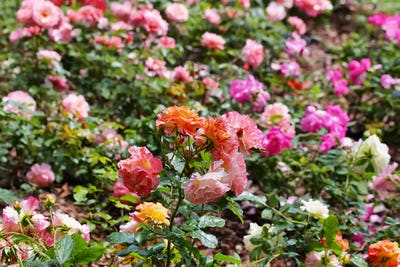Colorful wild roses