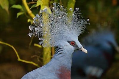 Crowned pigeon, scientific name Goura